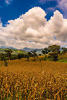 A field of maize, Omo Valley, Southern Nations Nationalities and People's Region, Ethiopia.