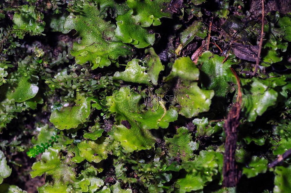 Tropical liverworth growing in Bellavista cloud forest, Ecuador.