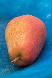 Pear in a blue bowl - Pyrus communis 'Rainier Red'