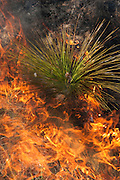 Prescribed Burn in longleaf pine forest.<br /> The Orianne Indigo Snake Preserve<br /> Telfair County, Georgia<br /> USA