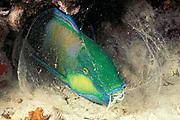 Bleeker's parrotfish, Chlorurus bleekeri, sleeping inside mucus cocoon at night, Mabul Island, off Borneo, Sabah, Malaysia ( Celebes Sea )