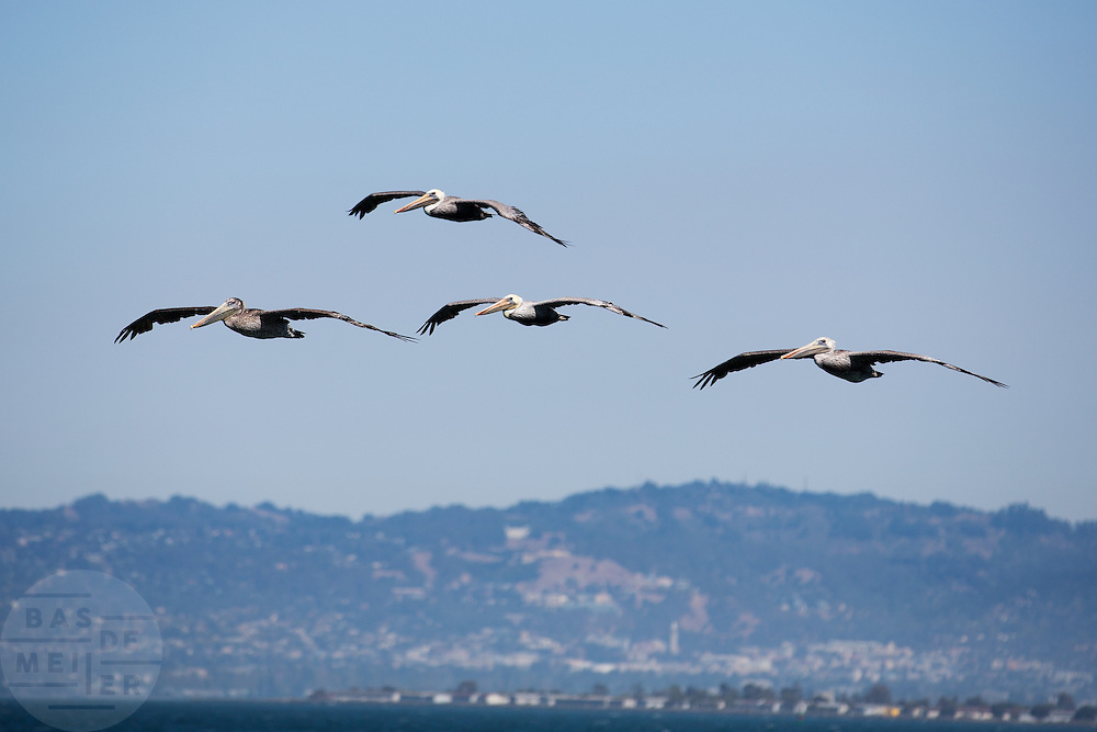 Bruine pelikanen vliegen over de baai van San Francisco.<br /> <br /> Brown pelicans fly at the San Francisco Bay.