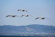 Bruine pelikanen vliegen over de baai van San Francisco.<br /> <br /> Brown pelicans fly at the San Francisco Bay.