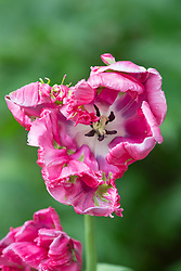 Tulipa 'Cerise Parrot'