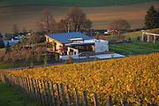 Saffron Fields Vineyards golden autumn sunset, Yamhill - Carlton AVA, Willamette Valley, Oregon