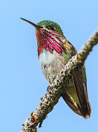 Calliope Hummingbird  south of Mt City in the Elkhorns