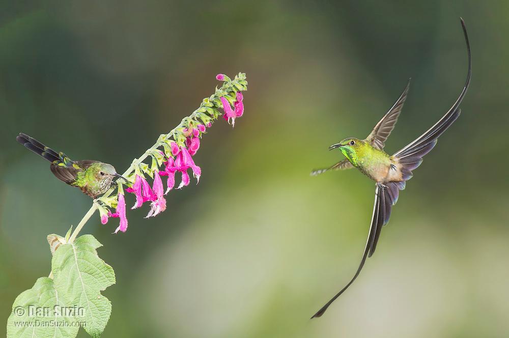 Male (right) and female black-tailed trainbearer, Lesbia victoriae. San Jorge Eco-Lodge, Quito, Ecuador