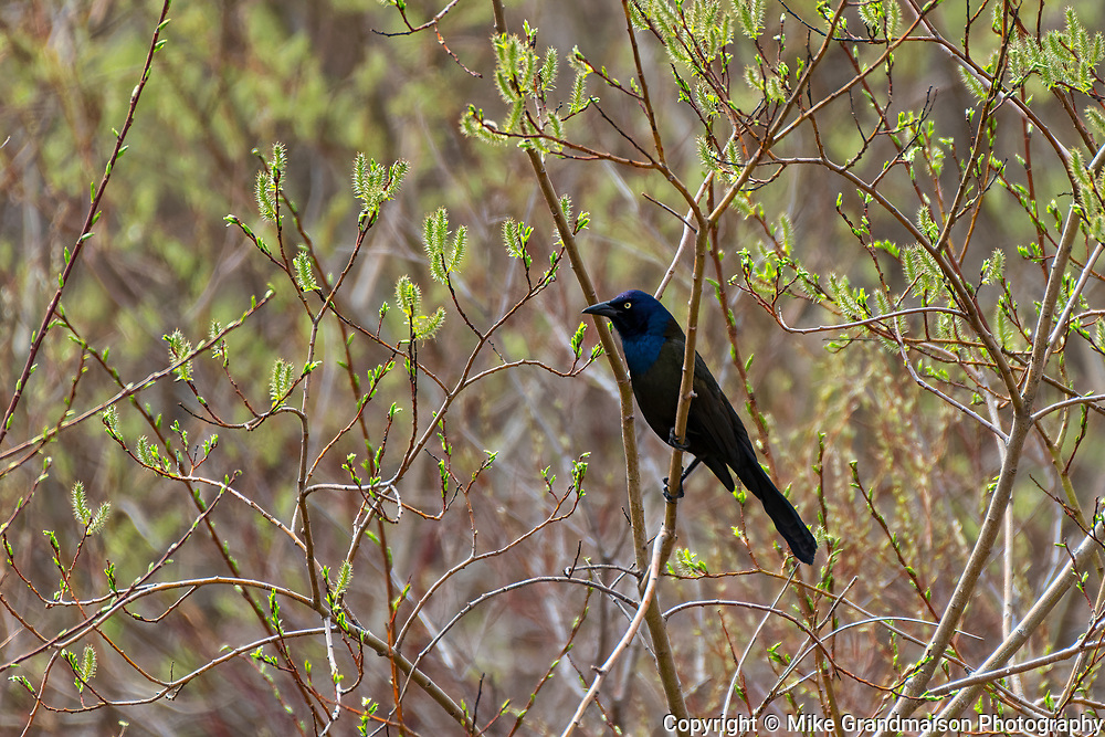 Common grackle (Quiscalus quiscula)<br />Willow Island<br />Manitoba<br />Canada