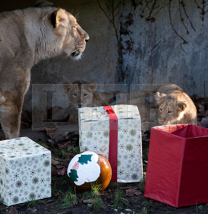© Licensed to London News Pictures. 15/12/2011. LONDON, UK. Under the watchful eye of their mother, Abi, London Zoo's three month old lion cubs, Indi and Heidi, investigate Christmas presents left in their enclosure by keepers. The lions London of London Zoo get into the Christmas Spirit after keepers delivered some early presents to their enclosure. Photo credit: Matt Cetti-Roberts/LNP