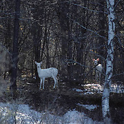 Whitetail Deer, (Odocoileus virginianus) Albino twin does stand in forest with normal herd.
