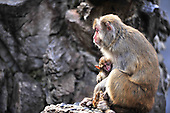 Mother Monkey comforts her dead baby