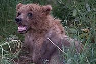 A brown bear cub in Katmai National Park, Alaska