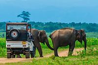 Safari vehicle passes an elephant, Udawalawe National Park, Sri Lanka. Udawalawe is an important habitat for water birds and Sri Lankan elephants.