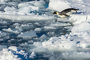 An Emperor Penguin (Aptenodytes forsteri)  entering icy water,  Weddell Sea