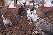 """Chickens roam around the chicken coop at Lorenzo De Zavala Environmental Science Academy in Grand Prairie, Texas on October 7, 2016. """"CREDIT: Cooper Neill for The Wall Street Journal""""<br /> PUBLICS"""