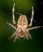 Close-up of a Garden spider (Araneus diadematus) resting in its web in a Norfolk garden in late summer