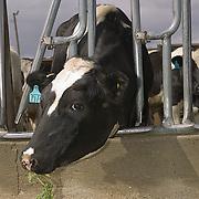 A dairy cow eats Roundup Ready alfalfa feed