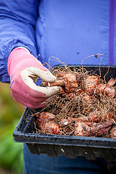 Tray of summer flowering bulbs - Gladioli - ready to plant out