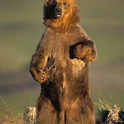 Grizzly Bear, (Ursus horribilis) Adult standing up on hind legs. Montana.   Captive Animal.