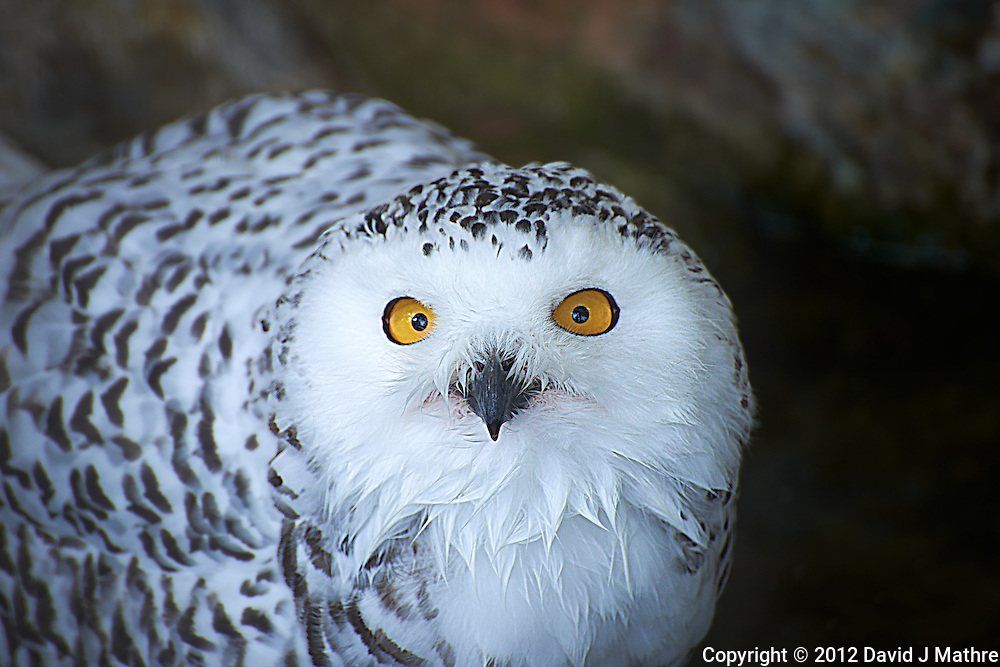 Female Snowy Owl at the Antwerp Zoo. Image taken with a Nikon D800 and 70-300 mm VR lens (ISO 400, 300 mm, f/5.6, 1/200 sec).