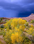 Cottonwood and approaching Storm, Capitol Reef National Park, Garfield County, Utah