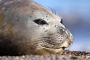 Southern Elephant Seal, Mirounga leonina, female closeup on face - Valdes Peninsula