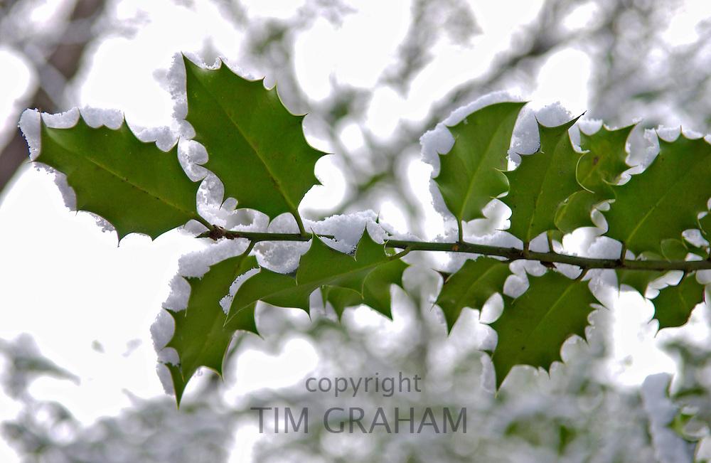 Snow covered holly branch, Hampstead Heath, London
