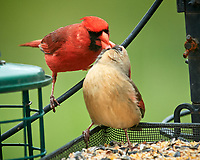 Northern Cardinal. Image taken with a Nikon D5 camera and 600 mm f/4 VR lens.
