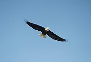 Bald Eagle, Adult - Haliaeetus leucocephalus