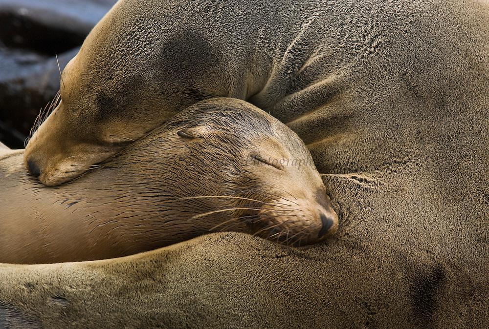 Galapagos sealions (Zalophus wollebaeki) Mother and pup<br /> Española (Hood) Island. Galapagos Islands<br /> ECUADOR.  South America