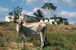 Cow on farm near Jibacoa; Cuba; with farmhouse in background,