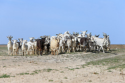 April 23, 2018 - Zaporizhzhia Region, Ukraine - A flock of goats is being herded by the Azov Sea in Zaporizhzhia Region, southeastern Ukraine, April 23, 2018. Ukrinform. (Credit Image: © Dmytro Smolyenko/Ukrinform via ZUMA Wire)