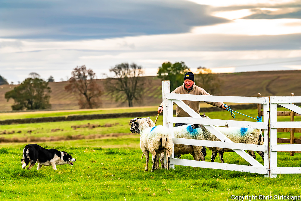 Otterburn, Northumberland, England, UK. 7th October 2018. Shepherds and their collies compete in a Sheepdog Trial at Otterburn in Northumberland on a cold day in the North of England.