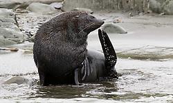 Fur Seal, South Georgia Island