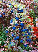 Alpine blueberry, Vaccinium uliginosum, coated with raindrops, Lake Clark National Park, Alaska.