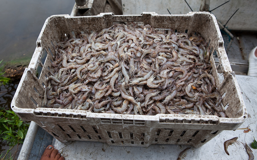 The lastbrown shrimp of the season caught in Bayou Pointe-au-Chien  where crab and shrimp season were officially closed on May 29th, 2010 due to the BP oil spill that is making its' way into the lakes and bayous close to Pointe-au-Chien.<br /> Grace Welch and Josh Bergeron, part of the Pointe-au Chien Indian tribe head catch on the last day of crab season. crabbing and shrimping season were offically closed on May 29th 2010 due to the BP oil leak.