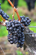 Bunches of ripe grapes. Merlot. Chateau Grand Corbin Despagne, Saint Emilion Bordeaux France