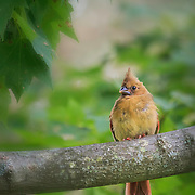 Fledgling northern cardinal (Cardinalis cardinalis) perches in maple tree, with new crest held high. Semifinalist in 2015 Share the View international nature photography competition by Audubon Society of Greater Denver.