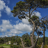 A Monterey Pine grows along the California coast at Stillwater Regional Park in Sonoma County.