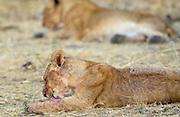 A lion Cub grooming, Grumeti, Tanzania, East Africa