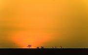 Giraffe at sunset, Serengeti National Park, Tanzania