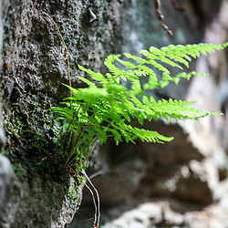 Benton, PA, USA - June 15, 2013: Fern growing out of rock