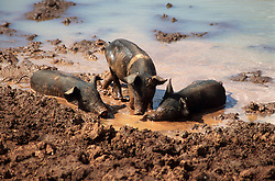 Pigs wallowing in mud beside pond on farm near Vinales; Pinar Province; Cuba,