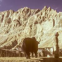 Yak & herder outside arid Ladakhi village.