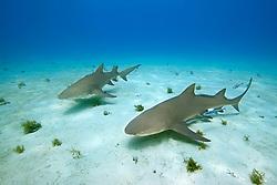 Lemon Sharks, Negaprion brevirostris, with Sharksuckers, Echeneis naucrates, West End, Grand Bahama, Atlantic Ocean