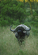 Cape buffalo, Serengeti National Park, Tanzania.