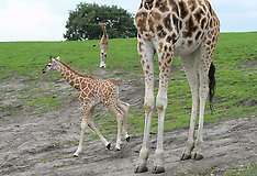 UK - Nine Day Old Giraffe At West Midlands Safari Park - 13 Sep 2016