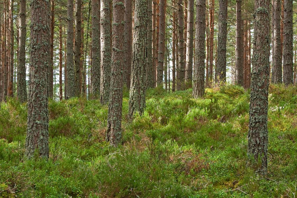 Caledonian Pine Forest at Abernethy Forest National Nature Reserve, Loch Garten, Cairngorms National Park, Scotland, Uk