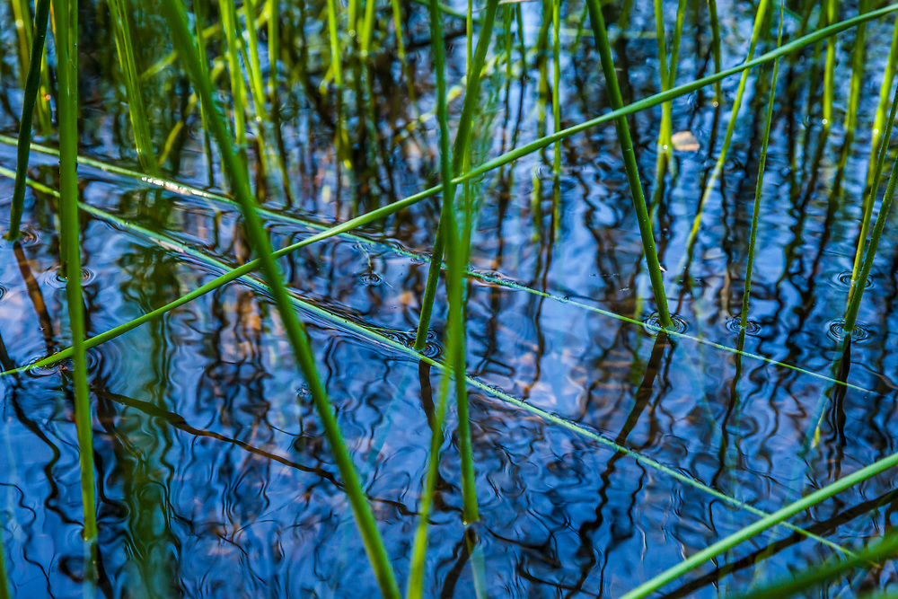 Reeds growing on the edge of a lake creating a complex pattern of lines in the reflective water.