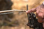 pinot noir guyot simple training showing pruning techniques clos st louis fixin cote de nuits burgundy france